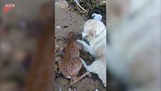 Собака вытащила из воды тонувшего олененка и пыталась его реанимировать