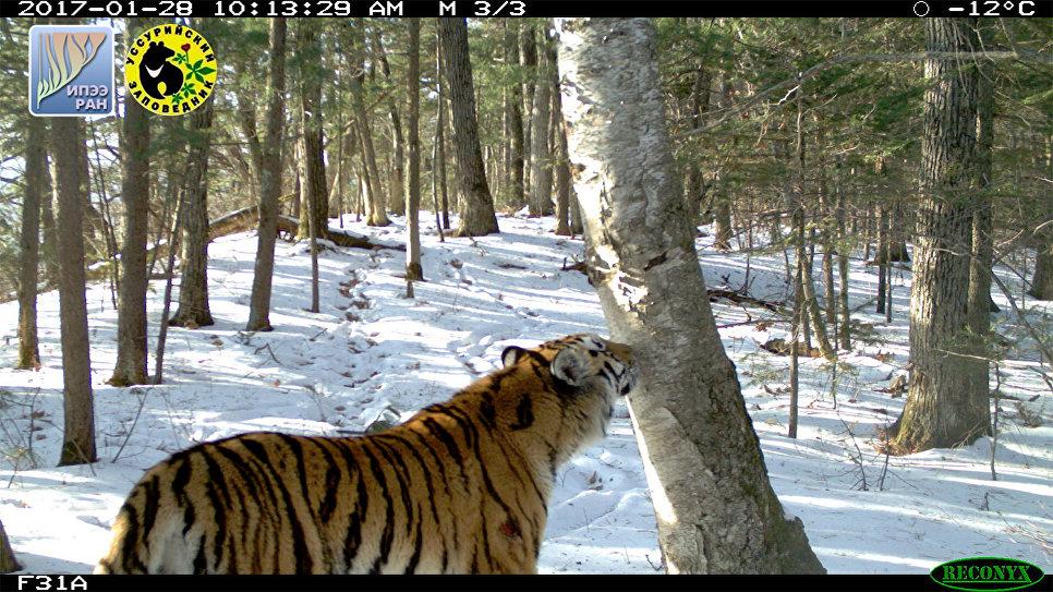 Фотография молодой тигрицы у маркировочного дерева в Уссурийском заповеднике примерно через неделю после получения ею травмы (рана на левом плече иногда еще кровит). Уссурийский заповедник
