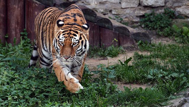 Жизнь в полоску: интересные факты об амурском тигре