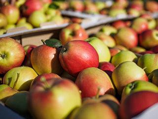 Урожай летних яблок. Архивное фото