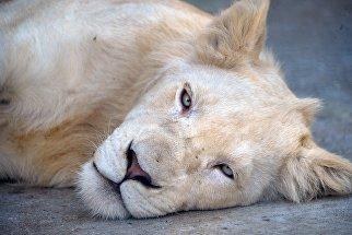 Львица в сафари-парке Тайган в Белогорском районе