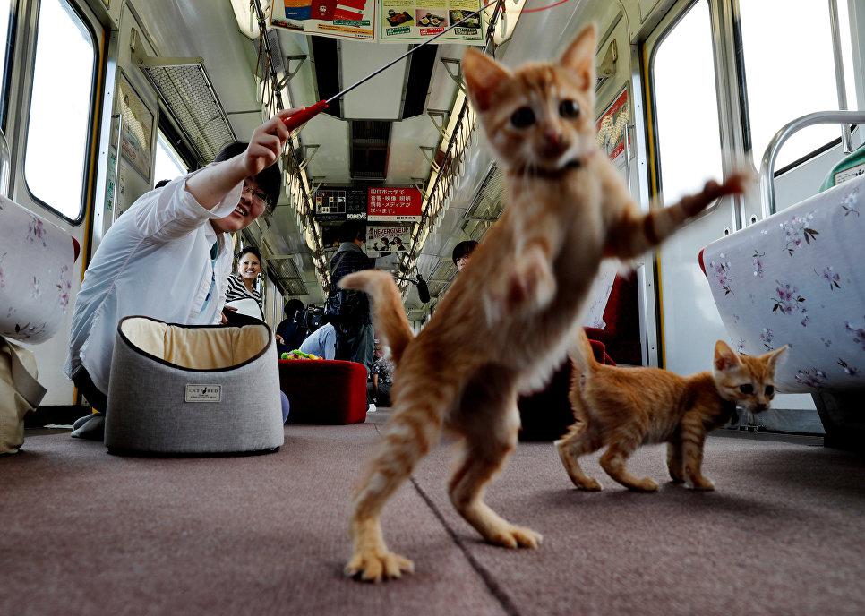 Пассажир играет с кошками в котопоезде в городе Огаки, Гифу, Япония. 10 сентября 2017