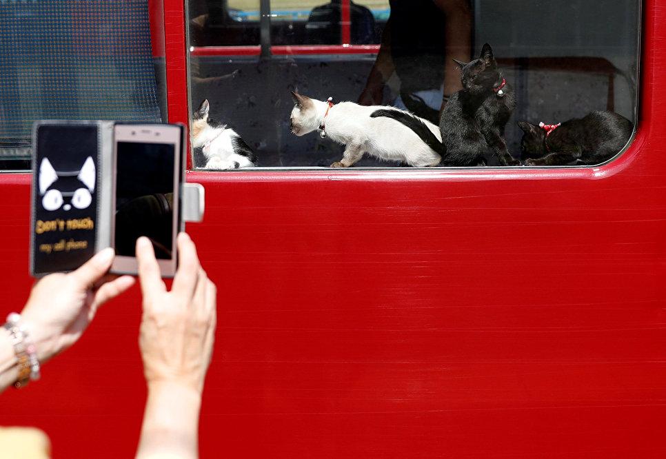 Женщина фотографирует кошек в котопоезде в городе Огаки, Гифу, Япония. 10 сентября 2017