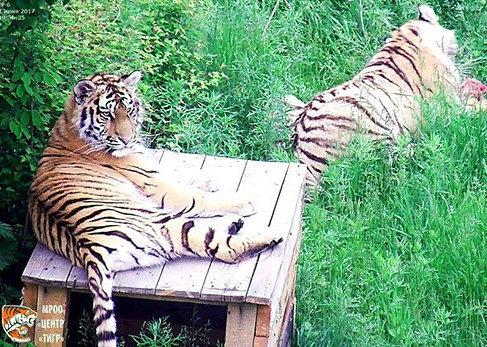 Животные практически все делают вместе, что очень необычно для тигров