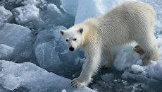 В Якутии пытаются спасти белого медвежонка
