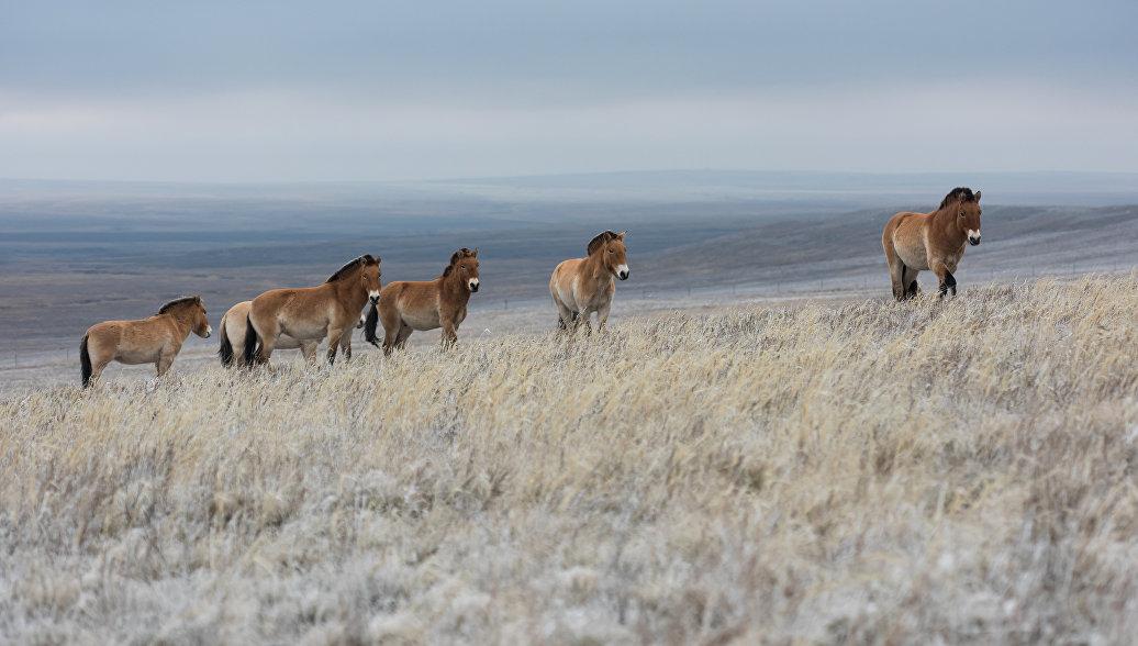 Лошадей Пржевальского выпустили наволю вОренбургском заповеднике