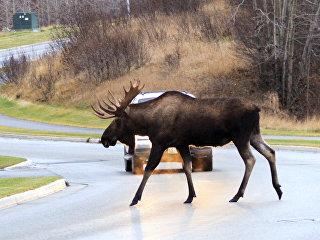 Автомобилист пропускает лося на дороге. архивное фото