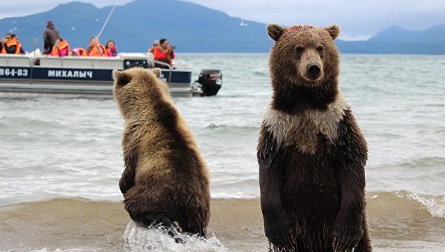 Медвежонок в«белом шарфе» стал звездой Курильского озера наКамчатке
