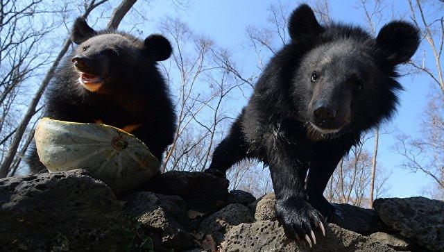 Детеныши гималайского медведя в вольере Приморского сафари-парка
