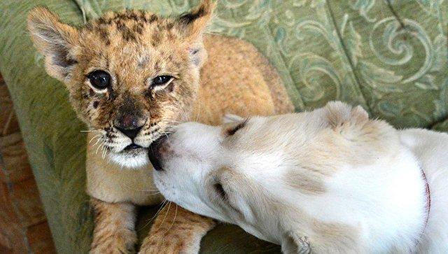 Маленькая львица Астра и щенок среднеазиатской овчарки по кличке Эльза