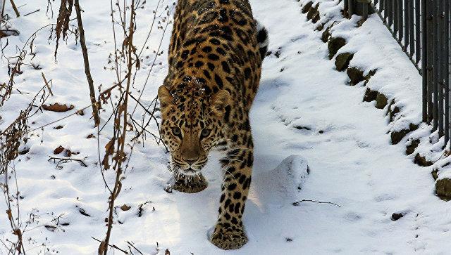 """В Приморье знаменитый леопард поставил рекорд по числу """"свиданий"""" с самками"""