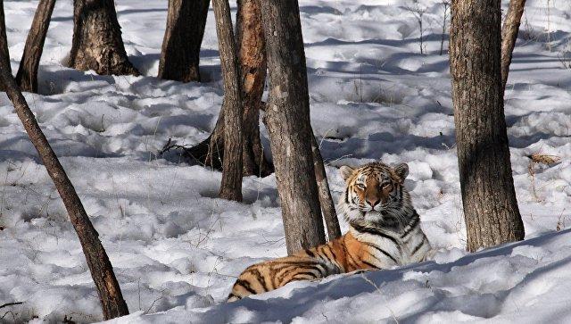 Неподалеку отСветлогорья словили  тигра, который елсобак