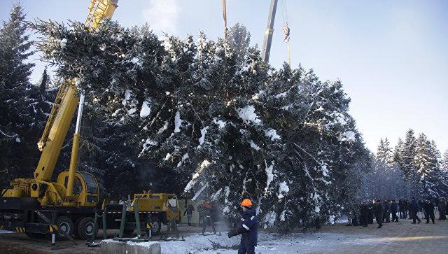 Главную новогоднюю ель России срубили в Московской области. Архивное фото