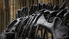 Скелет динозавра. Архивное фото