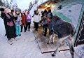 Китайские туристы и лосенок в саамской деревне Самь-Сыйт в поселке Ловозеро Мурманской области