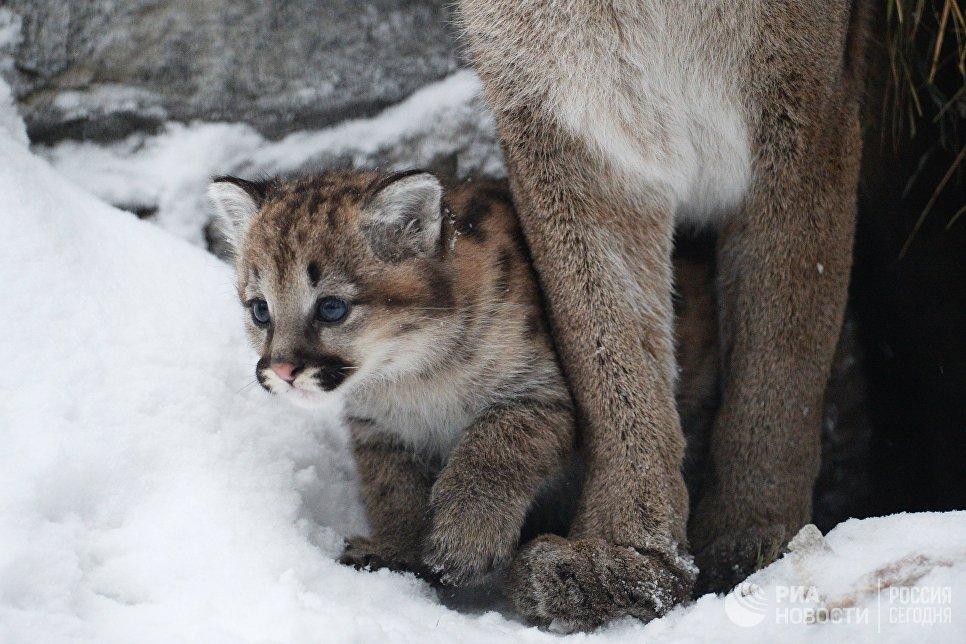 Детеныш пум Миланы и Гудзона, родившийся в конце ноября 2017 в Новосибирском зоопарке имени Р.А. Шило