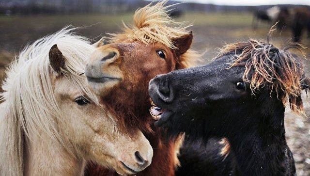 Три исландских лошади пасутся в своем загоне в Вертхайме, Германия. 16 января 2018 года