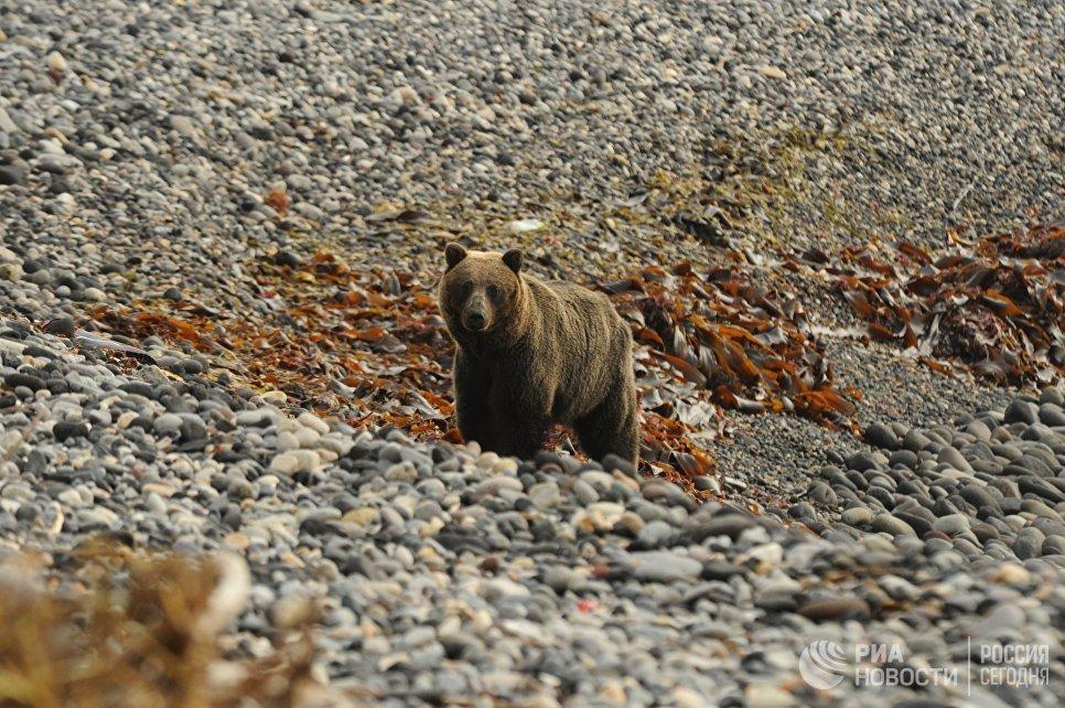 Курильский медведь на Тихоокеанском побережье острова Кунашир