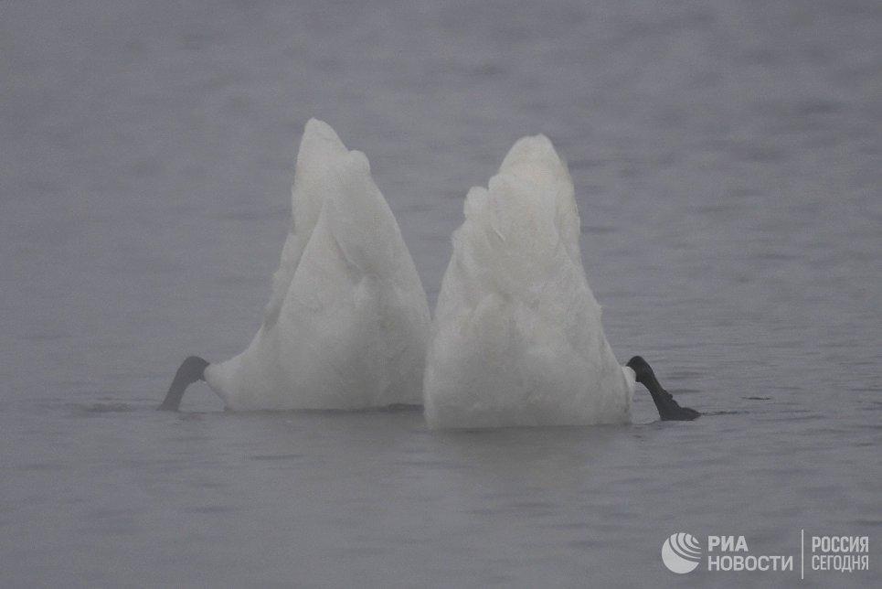 Лебеди-кликуны зимуют на Лебедином озере, расположенном на территории государственного природного комплексного заказника Лебединый в Алтайском крае