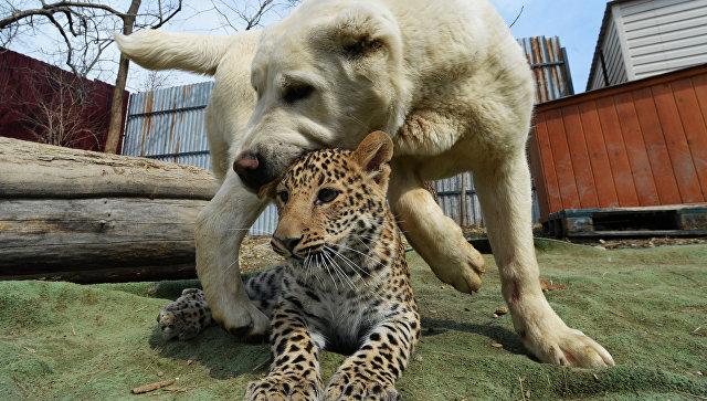 Котенок леопарда Милаша в зоопарке во Владивостоке
