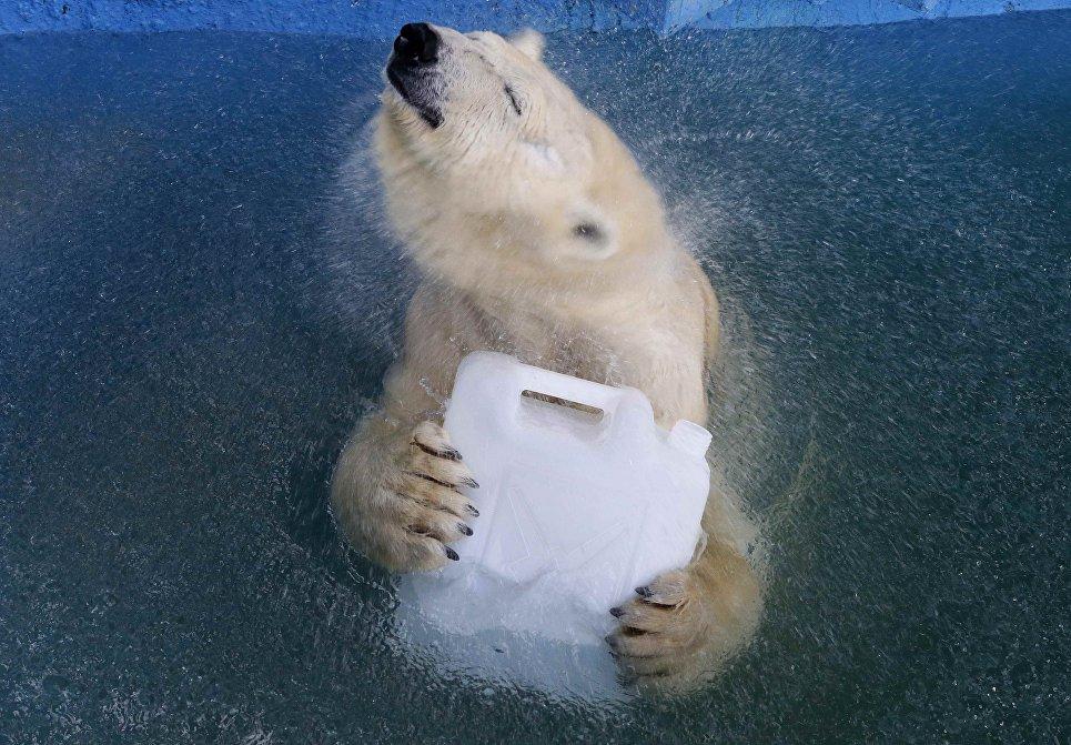Белая медведица Аврора играет с пластиковой канистрой в бассейне зоопарка Роев Ручей в Красноярске