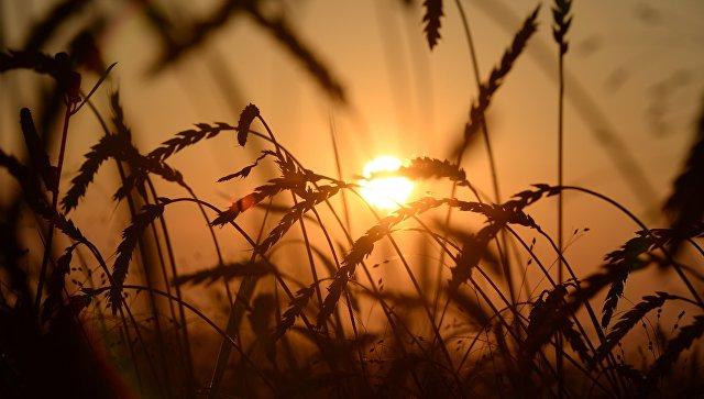 Пшеница на полях