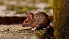 Мышь. Архивное фото