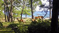 Пятнистые олени на территории Лазовского заповедника
