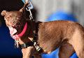 Собака на конкурсе Самая уродливая собака в мире(World's Ugliest Dog)
