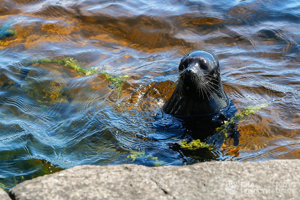 Ладожский нерпенок Крошик в водах Ладожского озера у острова Валаам.
