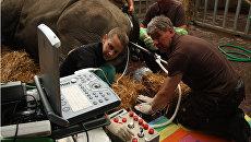 Ученые извлекают яйцеклетки из тела самки белого носорога