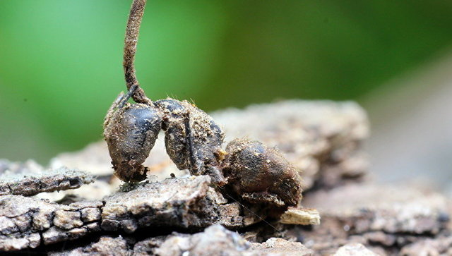 Биологический образец Муравья-древоточца, зомбированного грибом кордицепсом однобоким, во время исследования паразитических грибов на базе ФГБУ Земля леопарда