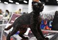 Порода голой вислоухой кошки украинский левкой на выставке