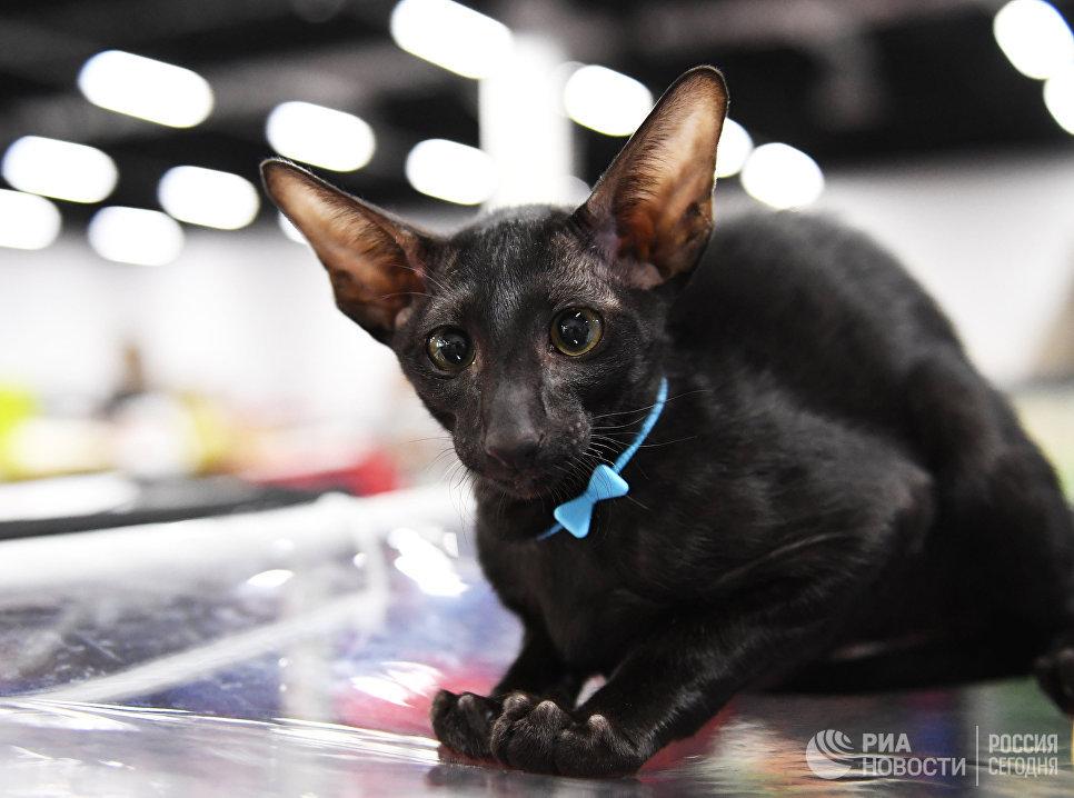 Кошка породы ориентальная - стройная, гибкая, изящная и вместе с тем сильная.выставки кошка породы ориентальная - стройная, гибкая, изящная и вместе с тем сильная