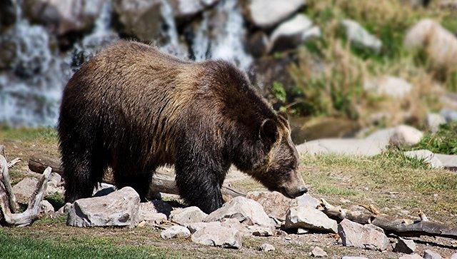 На Камчатке медведь убил подростка