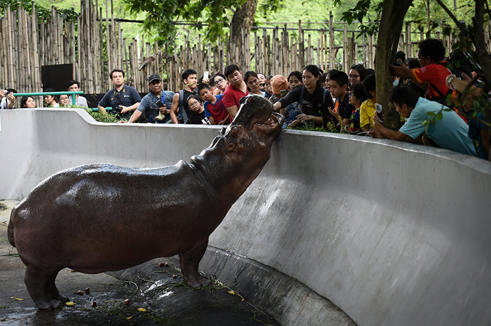 Кормление бегемота в зоопарке Дусит в Бангкоке