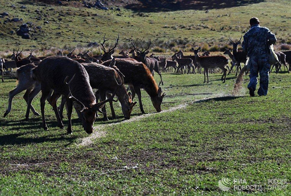 Сотрудник экопарка Леопарды на Гамова в Приморском крае подкармливает пятнистых оленей