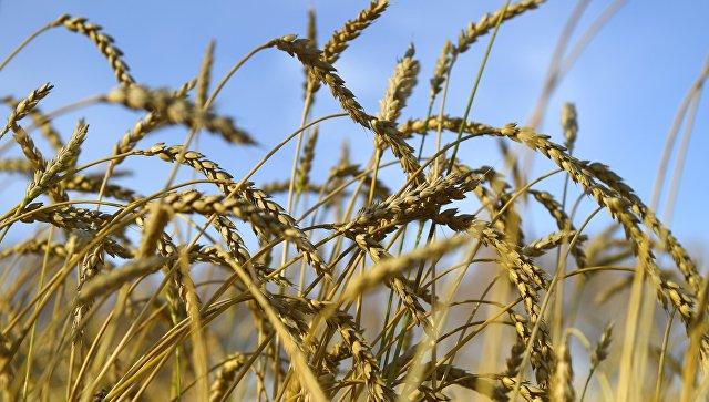 Колосья пшеницы. Архивное фото