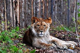 Годовалый африканский лев по кличке Гефест, недавно переданным  зоопарку из частных рук, в вольере на территории зоопарка Садгород во Владивостоке