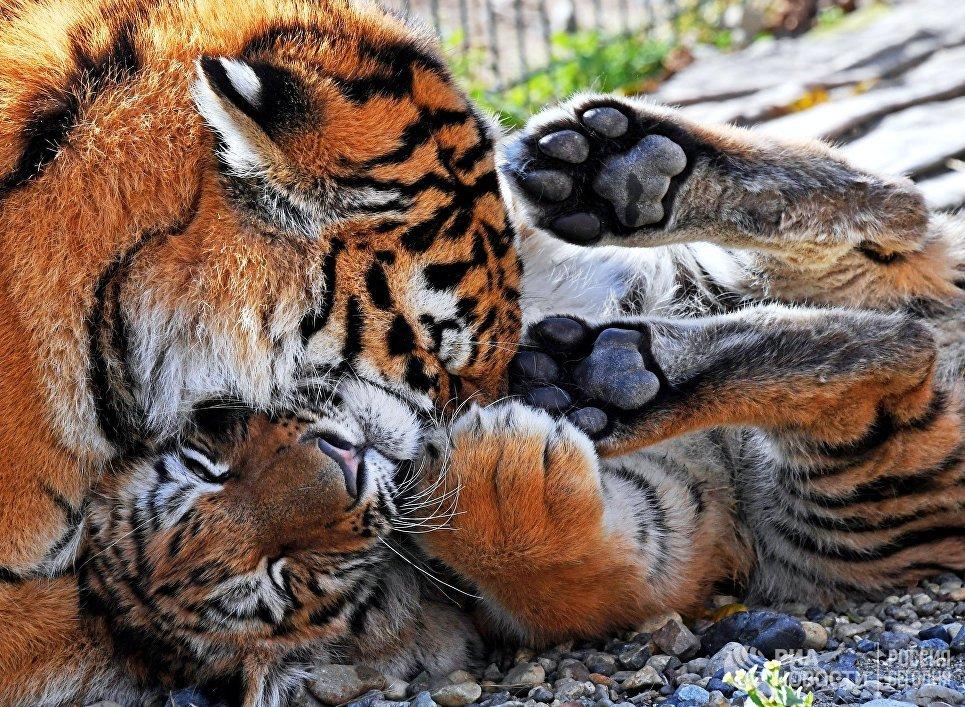 Молодая тигрица по кличке Алекса и амурский тигренок по кличке Тайган на территории зоопарка Садгород во Владивостоке
