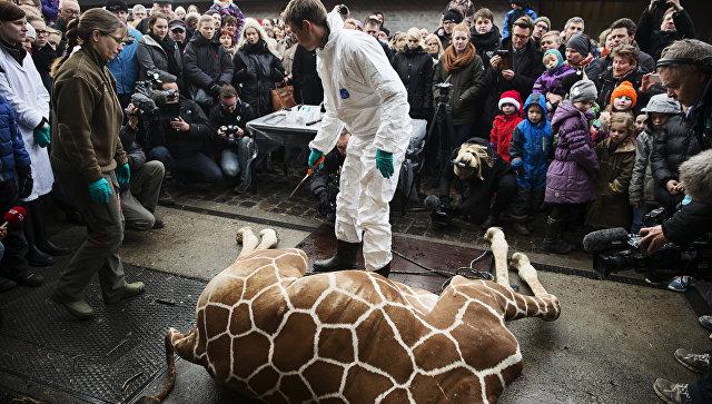 Показательное расчленение жирафа по кличке Мариус в зоопарке Дании. 2014 год