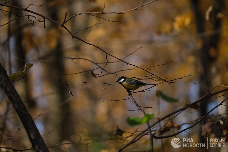 Синица в Битцевском лесу
