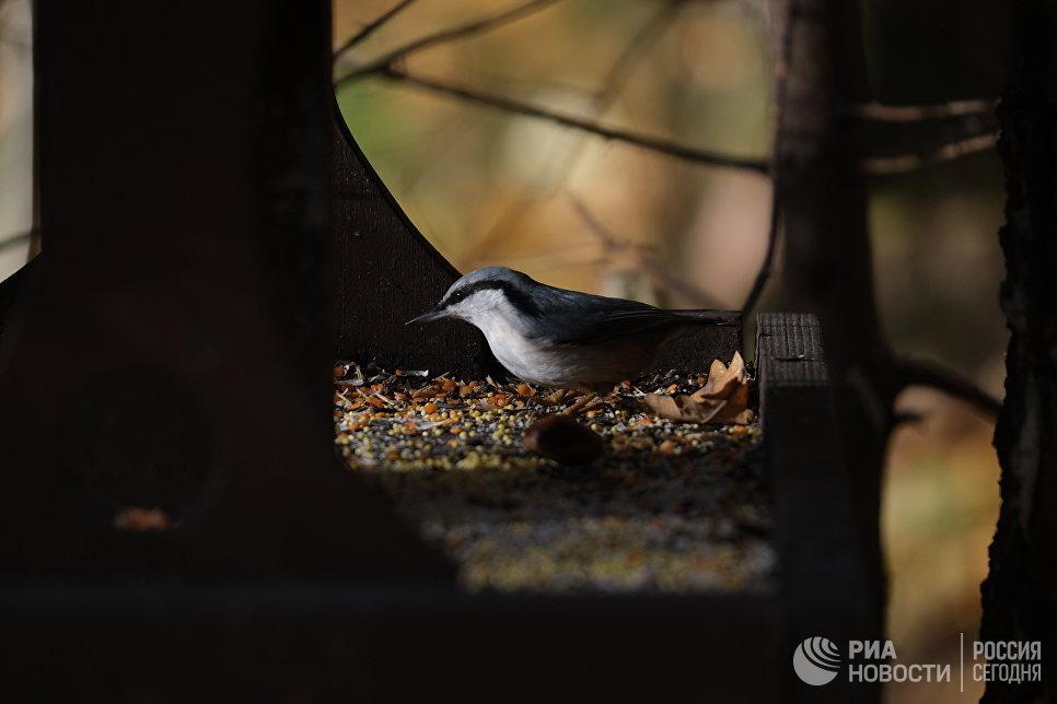 Поползень в Битцевском парке