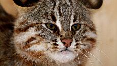 Дальневосточный дикий лесной кот. Архивное фото