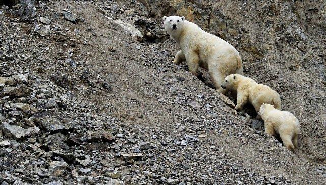 В WWF объяснили скопление белых медведей возле села на Чукотке