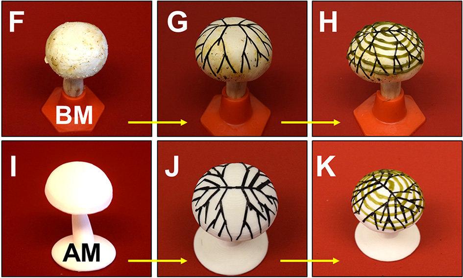 """Ученые из США превратили гриб в бионический """"генератор электричества"""""""