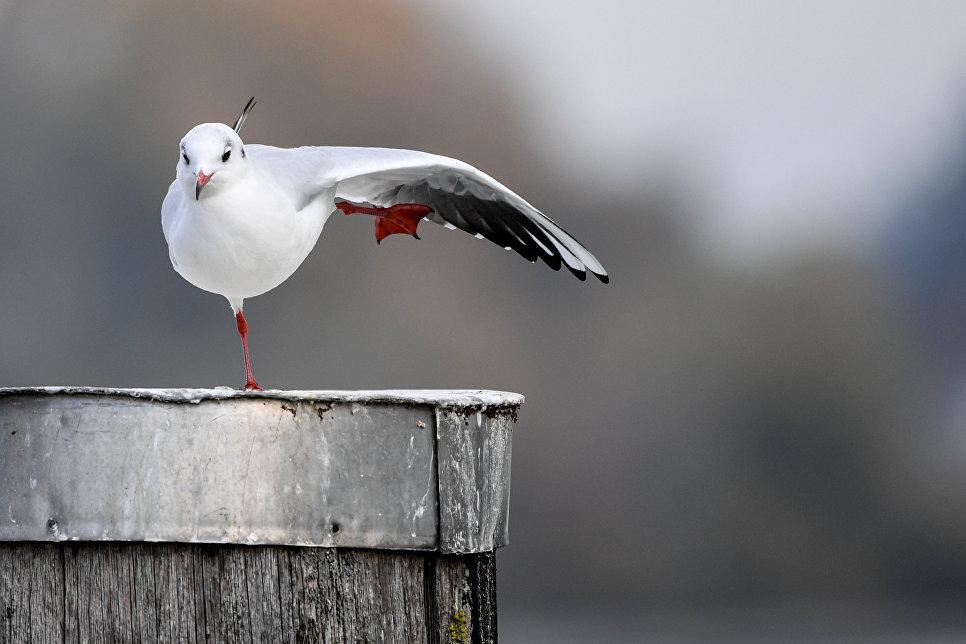 Чайка сидит на деревянном столбе на берегу Боденского озера
