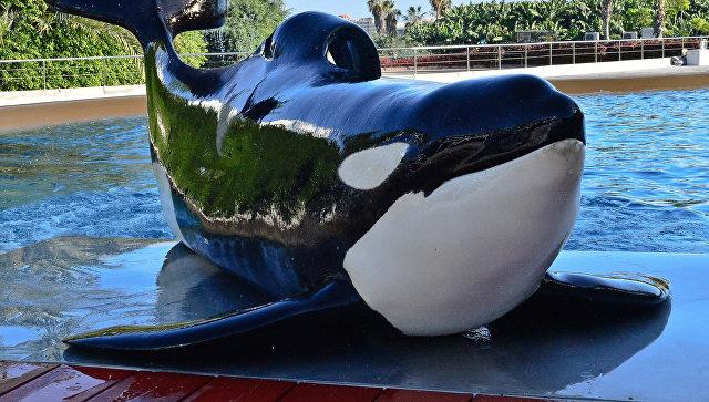 Косатка взвешивается на весах в океанариуме Лоро парка на испанском острове Тенерифе