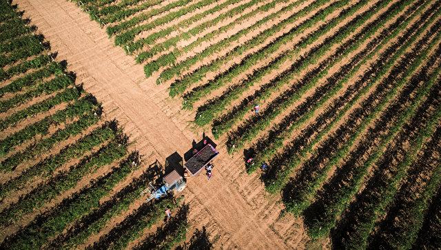 На Кубани планируют увеличить закладку виноградников до 2,1 тысячи гектаров