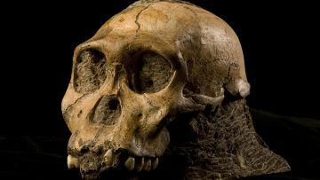 Череп Australopithecus sediba, найденный при раскопках в Южной Африке